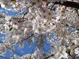 桜写真-2